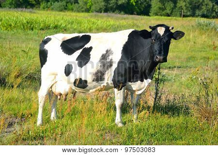 Cow On Meadow.