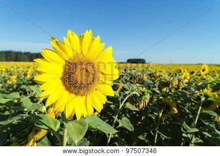 Sunflower Lit By The Sun.