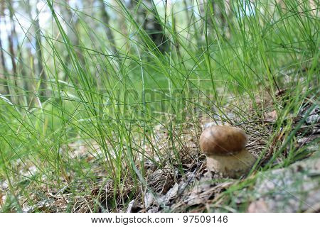 Beautiful And Small Cep In The Grass