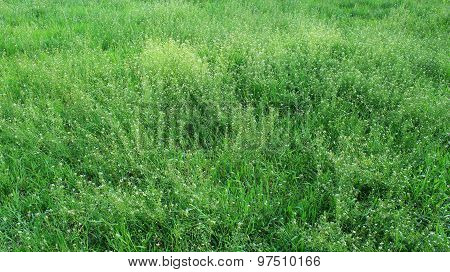 Field Of Capsella Bursa-pastoris