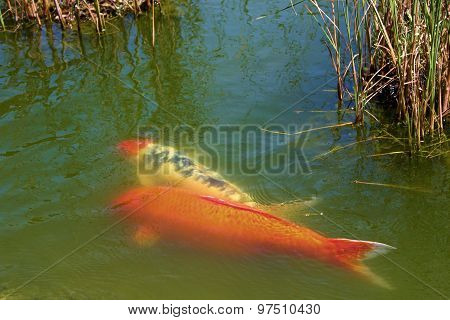 Colorful Koi Fish