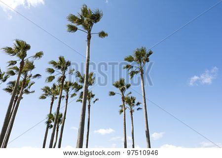 Washingtonia robusta trees