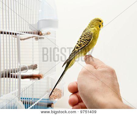 Canary Vird