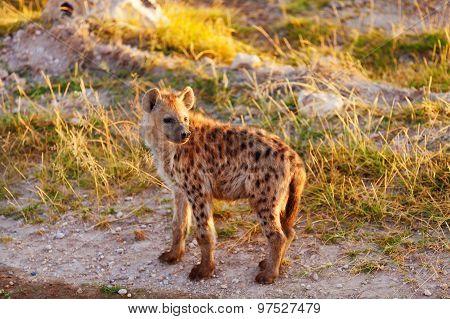 Hyena, Masai Mara