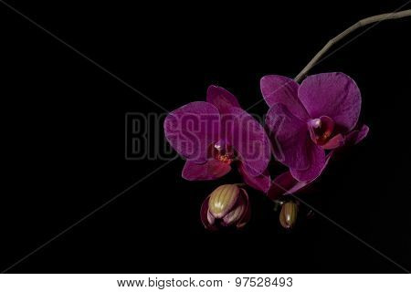 Purple Orchid Phalaenopsis Against A Black Background File33