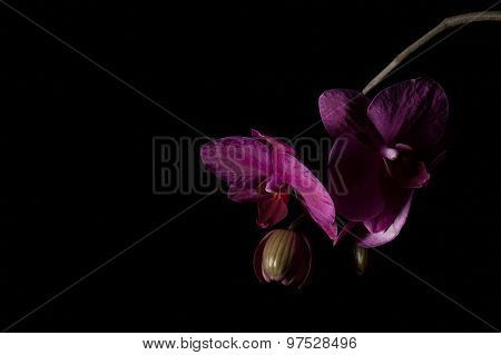 Purple Orchid Phalaenopsis Against A Black Background File39