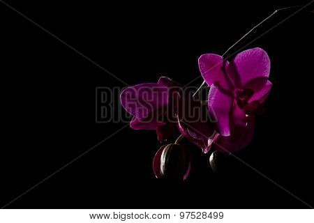 Purple Orchid Phalaenopsis Against A Black Background File43