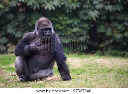 Gorilla Sitting On A Grass
