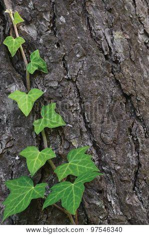 Climbing Common Baltic Ivy Stem, Hedera Helix L. Var. Baltica, Fresh New Young Evergreen Creeper