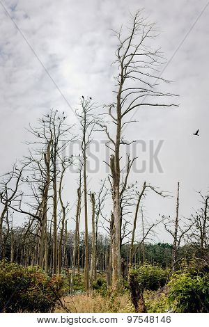 Forest Of A Dead Pine Trees Against Cloudy Sky Background. Juodkrante, Lithuania