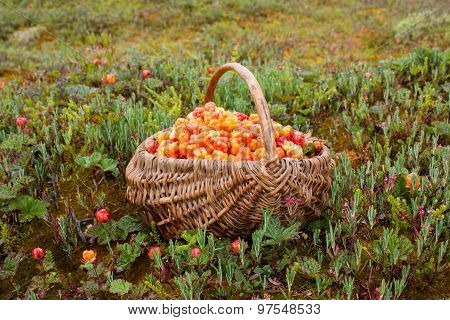 Full Basket Of Cloudberry
