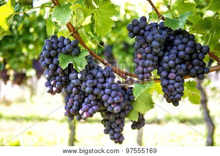 Red Grapes With Green Leaves On The Vine. Vine Grape Fruit Plants