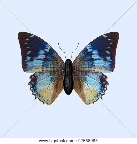 Nymphalidae Butterfly - Charaxes Smaragdalis