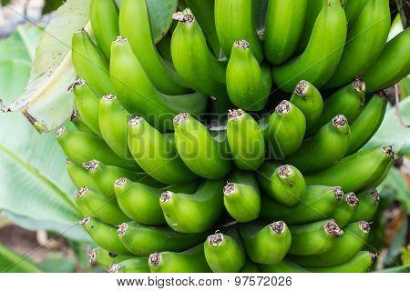 Bunch Of Small Green Bananas