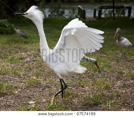 White egret  with ruffled feathers protecting territory. White Crane.
