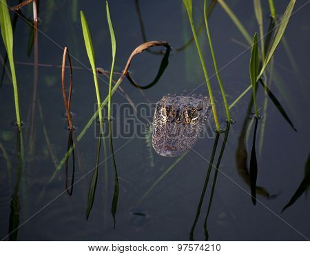 young aligator resting on the lake. On a nature background with green grass
