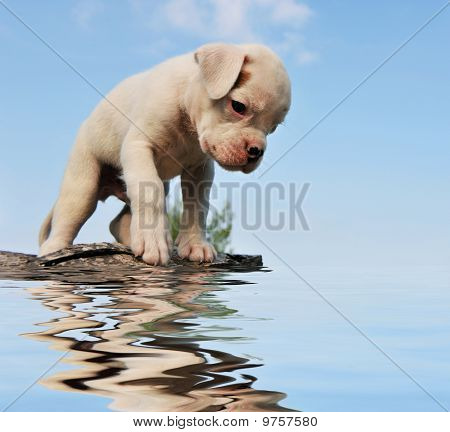 Puppy Boxer And Water