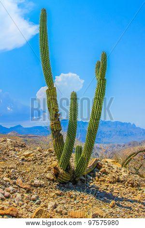 Elephant cactus