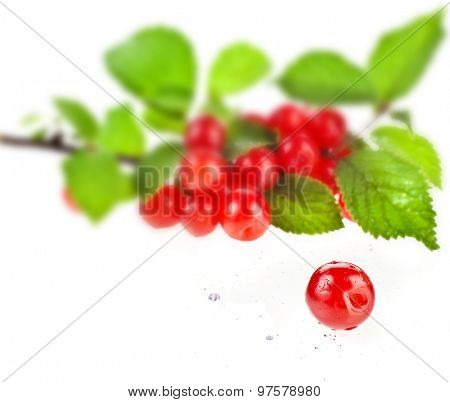 Branch of nanking cherry, isolated on white background, close up macro shot