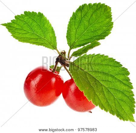 Felted cherry ripe fruit  isolated on white background