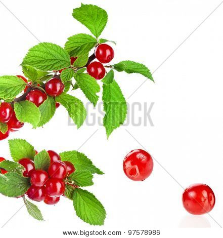 Cherry felt (Chinese) with red fruits on the branch. isolated on white background