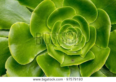 Crasullaceae Aeonium Canaries - Giant Velvet Rose