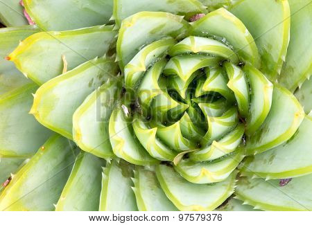 Aloe Polyphilla - Spiral Aloe