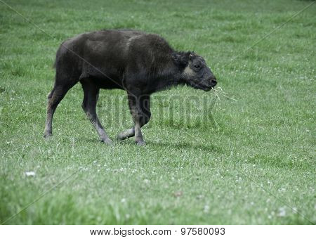 Young Buffalo Chewing Grass