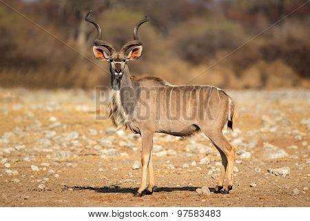Male kudu antelope (Tragelaphus strepsiceros) in natural habitat, Etosha National Park, Namibia