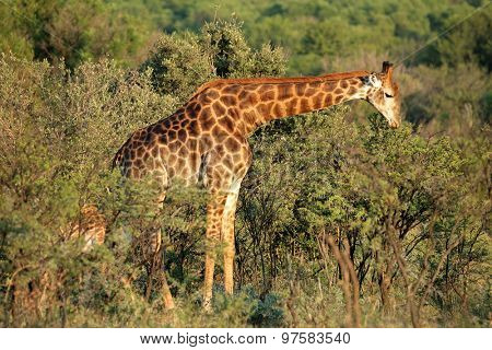 A giraffe (Giraffa camelopardalis) feeding on an Acacia tree, South Africa