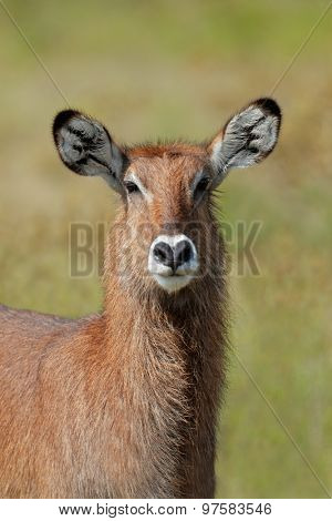 Portrait of a Defassa waterbuck (Kobus ellipsiprymnus defassa), Lake Nakuru National Park, Kenya