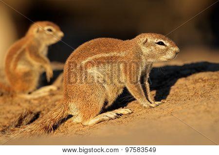 Ground squirrels (Xerus inaurus) in late afternoon light, Kalahari desert, South Africa