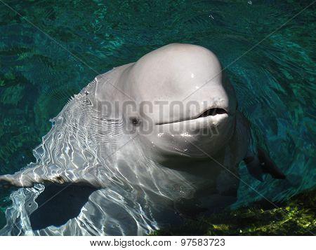 Kiss of Beluga