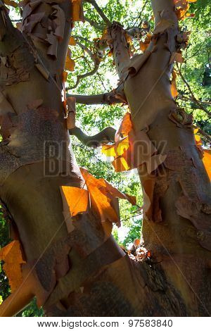 Acer Griseum Chinese Paperbark Maple