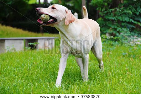 Labrador with her ball