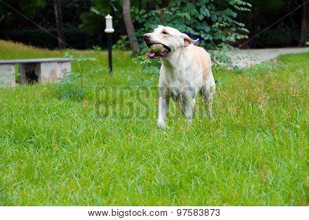 Exercising labrador dog