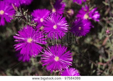 Hardy Ice Plants In A Garden