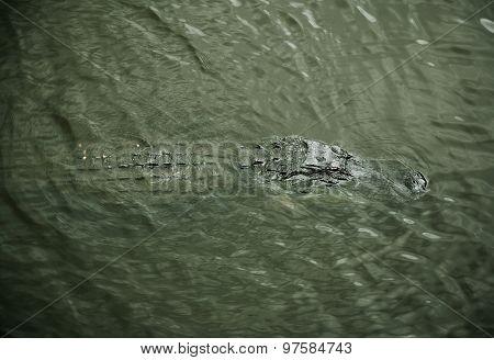aligator resting on the river. Myakka River