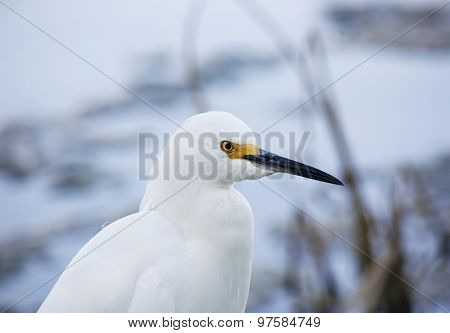 close-up portrait of white snow egret on nature background