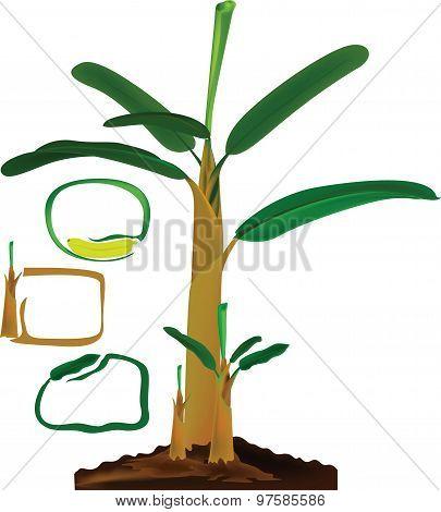 banana tree infographic
