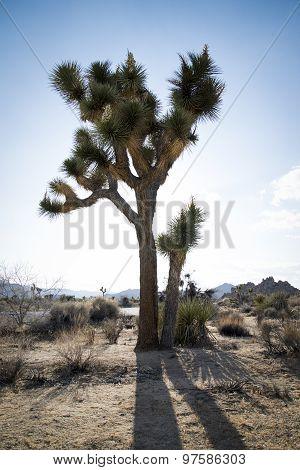 A Joshua Tree in the Desert