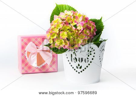 Hydrangea In A Pot With A Gift Box