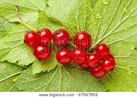 Bunch Of Red Currant On Leaves