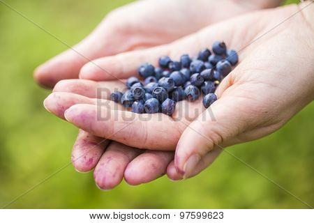 Women Hands Picking Wild Blueberries.