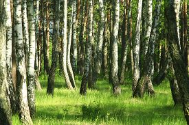 foto of birchwood  - image of beautiful birchwood in the spring in May  - JPG