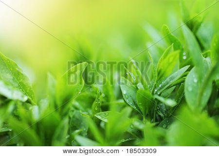 Tea Plantation Close Up Background