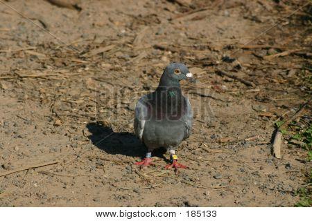 Gray Pidgeon