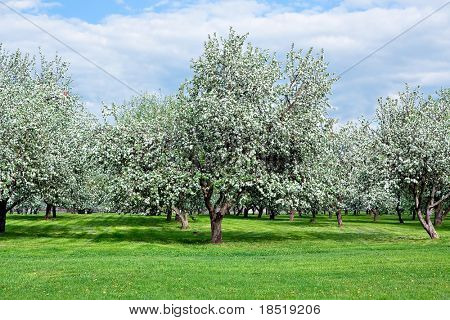 blooming apple trees garden in spring