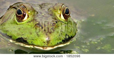 Patient Bullfrog