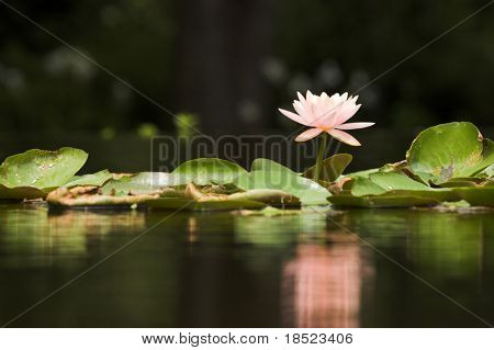Lilypad on pond with dark areas for text